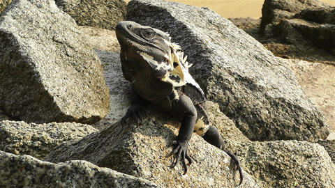 Iguana in Mexico 6 Stock Video Footage