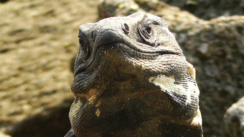 Iguana in Mexico 8 Stock Video Footage
