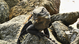 Iguana in Mexico 10 Stock Video Footage