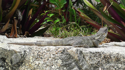 Iguana Watching then Runs Away South Mexico Stock Video Footage