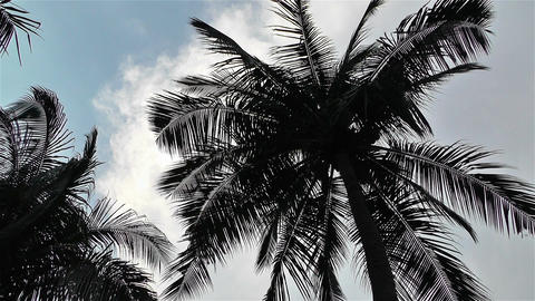 Palm Trees 1 lowangle Footage