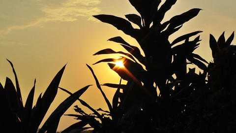 Plant Silhouettes in the Sunset 2 Stock Video Footage