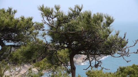 swing pine in wind,seascape backgrounds Footage
