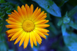 A Daisy, bright blossoming flower 사진