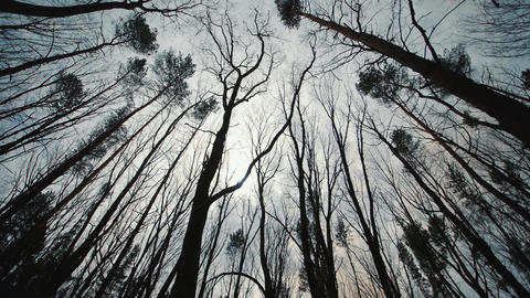 dark gloomy forest and treetops. Movement between trees in a dark forest top Live Action
