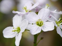 Cuckoo flower フォト