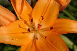 orange flower Foto