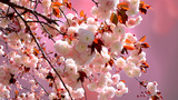 Sakura Cherry Blossoms stock footage