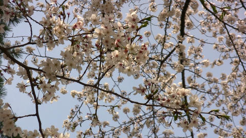 cherry blossom 01 Stock Video Footage