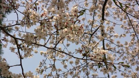 cherry blossom 01 Stock Video Footage