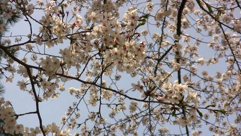 cherry blossom 01 Footage