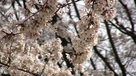cherry blossom 03 Stock Video Footage
