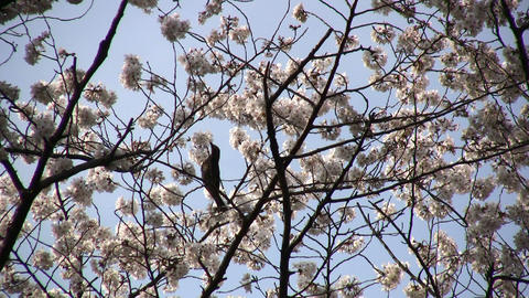cherry blossom 07 Stock Video Footage
