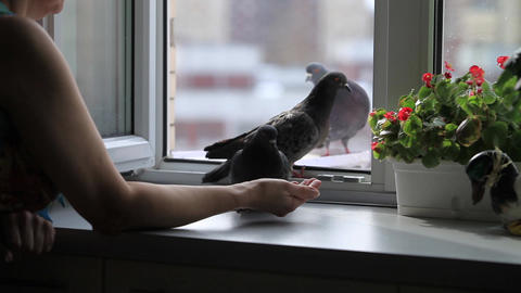pigeons pecking at seeds Stock Video Footage