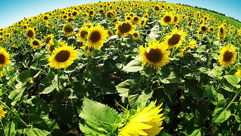 Sunflowers around the world Stock Video Footage