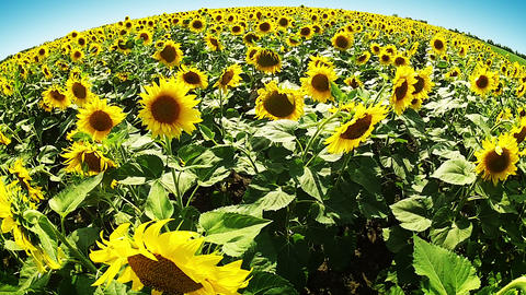 Sunflowers around the world Footage