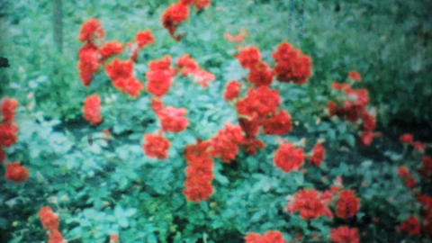 Beautiful Red Roses In The Garden 1962 Vintage 8mm film Footage