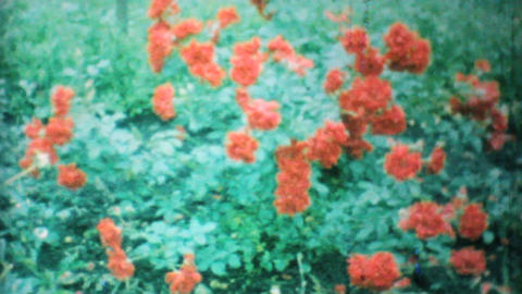 Beautiful Red Roses In The Garden 1962 Vintage 8mm film Stock Video Footage