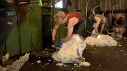 Shearing Team Shearing Sheep Stock Video Footage