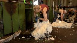 Shearing Team Shearing Sheep Stock Video Footage
