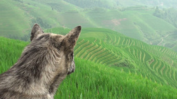 Old dog looking over rice terraces and guarding th Stock Video Footage