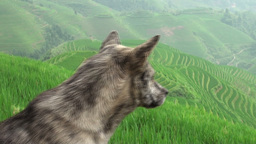 Old Dog Looking Over Rice Terraces And Guarding Th stock footage