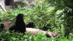 Lazy panda bear eats bamboo leaves while lying dow Stock Video Footage