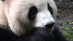Cute panda bear chewing bamboo Stock Video Footage