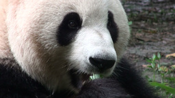 Cute panda bear chewing bamboo Stock Video Footage