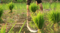 Planting rice close up Stock Video Footage
