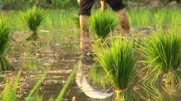 Planting rice close up Footage