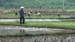 Supervisor walks through rice fields with workers Stock Video Footage