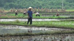 Supervisor walks through rice fields with workers  Footage