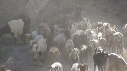 Herding sheep in village of Northern Pakistan Stock Video Footage