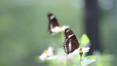 Two Butterflies in Rack Focus Stock Video Footage