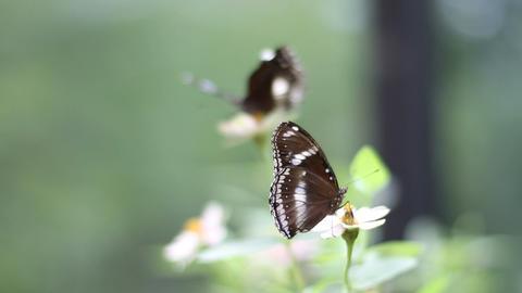 Two Butterflies in Rack Focus Stock Video Footage