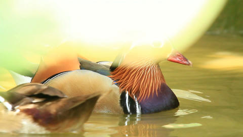 Exotic Mandarin Duck Playing In Water Stock Video Footage