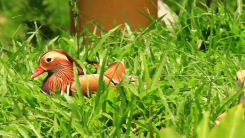 Exotic Mandarin Duck Walking Stock Video Footage