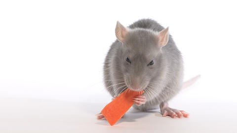 Rat nibbles carrot, in the studio on a white background Stock Video Footage