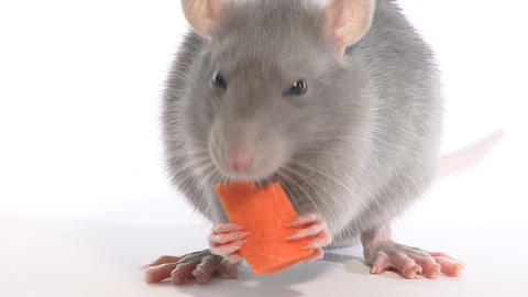 Rat nibbles carrot, in the studio on a white background Footage