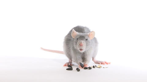 Rat gnaws seeds, in the studio on a white background Stock Video Footage