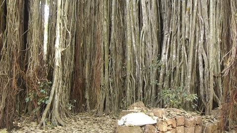 Large banyan tree Stock Video Footage