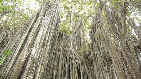 Large Banyan Tree stock footage