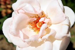 Closeup picture of beautiful rose Photo