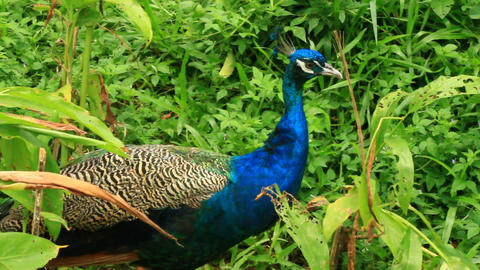 Peacock Walking Freely In The Wild Stock Video Footage