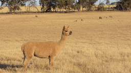 Alpaca and Sheep Stock Video Footage