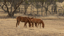 Horses Grazing in a Paddock in Front of a Patch of Bush Stock Video Footage