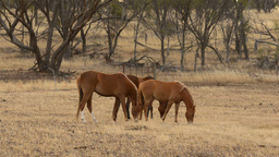 Horses Grazing in a Paddock in Front of a Patch of Bush Footage
