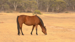 Horse Grazing in a Dry Field in the Summer Footage