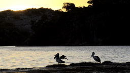 Pelicans Waking Up On The Moore River At Sunset stock footage